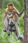 Embracing Posters - Proboscis Monkey Female And Six Week Poster by Suzi Eszterhas