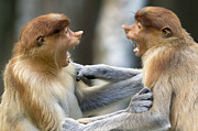 Open Mouth Prints - Proboscis Monkey Males Play Fighting Print by Suzi Eszterhas