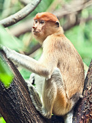 Proboscis Photos - Proboscis monkey by MotHaiBaPhoto Prints