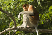 Proboscis Photos - Proboscis Monkey Nasalis Larvatus Male by Tim Laman