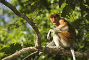 Proboscis Photos - Proboscis Monkey Nasalis Larvatus by Tim Laman