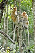 Proboscis Photos - Proboscis Monkeys by Tony Camacho