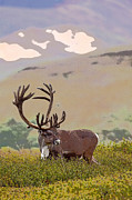 Profile Of A Bull Caribou- Abstract Print by Tim Grams