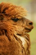 Nostril Framed Prints - Profile Of A Camelid Framed Print by Con Tanasiuk