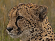 Peter Chapman - Profile Of A Cheetah