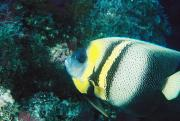 Reef Fish Prints - Profile Of A Cortez Angelfish Print by James Forte