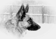 Purebreed Posters - Profile Of A German Shepherd Poster by Angie McKenzie