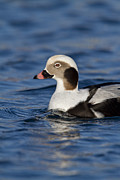 Kodiak Prints - Profile of a Long-Tailed Duck Print by Tim Grams