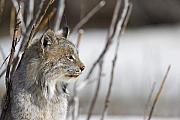 Denali National Park Photos - Profile of a Lynx by Tim Grams