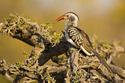 Hornbill Photos - Profile Of A Red-billed Hornbill by Ralph Lee Hopkins
