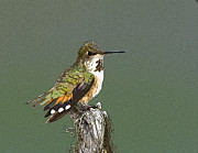 Black-tail Posters - Profile of a Rufus Hummingbird- Abstract Poster by Tim Grams