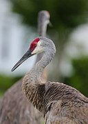 Crane Photos - Profile of a Sandhill Crane by Carol Groenen