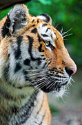 The Tiger Metal Prints - Profile Of A Siberian Tiger Metal Print by Picture by Tambako the Jaguar