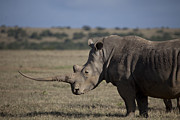 Rhinoceros Framed Prints - Profile Of A White Rhino In In Solio Framed Print by Robin Moore