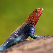 Colored Background Art - Profile Of Male Red-headed Rock Agama by Achim Mittler, Frankfurt am Main