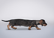 Dog Walking Posters - Profile Portrait Of A Dachshund Stretched Poster by Brand New Images