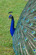 Peacock Photo Metal Prints - Profiling Metal Print by Suzanne Gaff