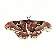 Nature Study Painting Originals - Promethea Moth by Betsy Gray