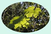 Grape Leaf Prints - Promise of Vintage Print by Stephen Bonrepos