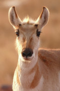 Pronghorn Photos - Pronghorn Antelope Doe In Soft Light by Max Allen