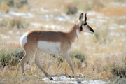 Pronghorn Photos - Pronghorn Antelope in Grand Teton by Pierre Leclerc