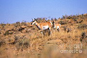 Goats Prints - Pronghorn Antelope Print by Science Source
