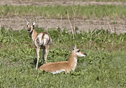 Pronghorn Photos - Pronghorn Antelope With Young by Mark Duffy