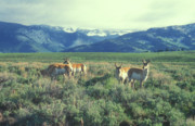 Pronghorn Photos - Pronghorn Antelopes in Yellowstone Valley by John Burk