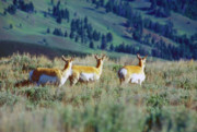 Pronghorn Photos - Pronghorn Antelopes On the Alert by John Burk