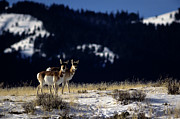 Yellowstone Park Scene Prints - Pronghorn (antilocarpa Americana) Print by Altrendo Nature