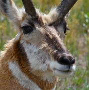 Pronghorn Photos - Pronghorn Buck face study by Karon Melillo DeVega