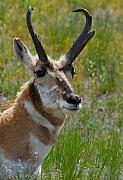 Pronghorn Framed Prints - Pronghorn Buck Framed Print by Karon Melillo DeVega