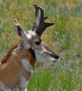 Pronghorn Photos - Pronghorn Buck profile by Karon Melillo DeVega
