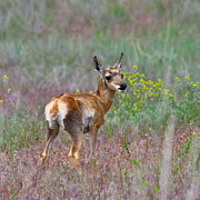Pronghorn Photos - Pronghorn Fawn by Karon Melillo DeVega