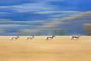 Pronghorn Framed Prints - Pronghorn Running Through A Field Framed Print by Drew Rush