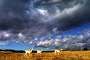 Pronghorn Framed Prints - Pronghorn under Stormy Sky Framed Print by Thomas R Fletcher