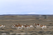 Habitats Prints - Pronghorns Race Across A Section Print by Joel Sartore