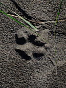 Dog Paw Print Prints - Proof of Abbys visit Print by Teri Schuster