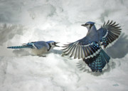 Blue Jays Prints - Proper Use Of A Flash Print by Brian Pelkey