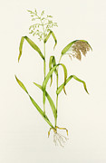 Ripened Fruit Prints - Proso Millet (panicum Miliaceum), Artwork Print by Lizzie Harper