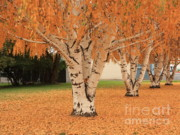Yellow Leaves Posters - Prosser - Autumn Birch Trees Poster by Carol Groenen