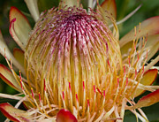 Proteas Prints - Protea Bloom Print by Heather Thorning