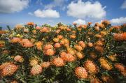 Pin Cushion Prints - Protea Blossoms Print by Ron Dahlquist - Printscapes