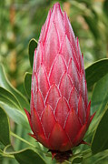 Fynbos Prints - Protea Print by Danny Jacobs