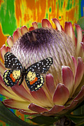 Proteas Prints - Protea with speckled butterfly Print by Garry Gay