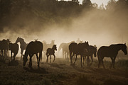 Group Of Horses Posters - Protected Mustangs In The Morning Mist Poster by Melissa Farlow