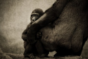 Gorilla Digital Art Framed Prints - Protection Framed Print by Animus  Photography