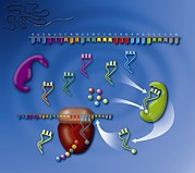 Rna Posters - Protein Translation, Artwork Poster by Art For Science