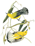 Warbler Paintings - Prothonotary Warbler by John James Audubon