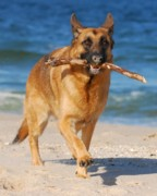 Purebreed Posters - Proud and Happy - German Shepherd Dog Poster by Angie McKenzie